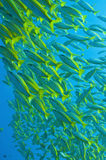 Schooling yellow-stripped goatfish, Great barrier Royalty Free Stock Images