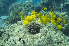 Schooling Yellow Tang Stock Images
