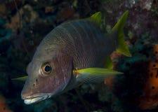 Schoolmaster ψάρια Στοκ εικόνα με δικαίωμα ελεύθερης χρήσης