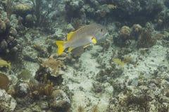 Schoolmaster ψάρια Στοκ Εικόνες