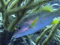 Schoolmaster fish. Stock Images