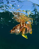 schoolmaster fotografa underwater Obraz Royalty Free