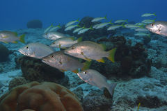 Schoolmaster and Mahogany Snapper. School of Schoolmaster (Lutjanus apodus) and Mahogany Snapper (Lutjanus mahogoni) on a coral reef Stock Image