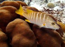 Schoolmaster Snapper Lutjanus Apodus. Schoolmaster Snapper or Lutjanus Apodus on a Bonaire coral reef royalty free stock images
