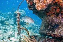 Schoolmaster snapper, Lutjanus apodus,fish Royalty Free Stock Photos