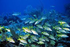 Schoolmaster Snappers Royalty Free Stock Images