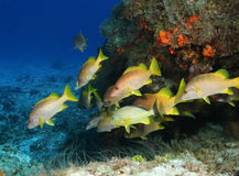 Schoolmasters - Cozumel. Schoolmasters Schooling Next to a Coral Reef - Cozumel Royalty Free Stock Photography