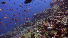 Schools of blue and red fish on a tropical reef. Amazing, beautiful underwater world Bali Indonesia and  life of its inhabitants, creatures and diving, travels stock video footage
