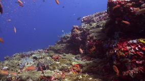 Schools of blue and red fish on a tropical reef. stock video