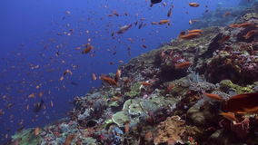 Schools of blue and red fish on a tropical reef. stock video footage