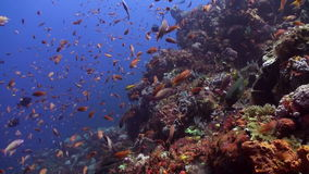 Schools of blue and red fish on a tropical reef. Amazing, beautiful underwater world Bali Indonesia and  life of its inhabitants, creatures and diving, travels stock footage
