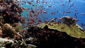 Schools of blue and red fish on a tropical reef. stock footage