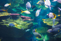 Schools of fish. Streams of sunlight hit the backs of schools of fish swimming Royalty Free Stock Photography