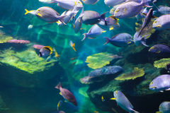 Schools of fish. Streams of sunlight hit the backs of schools of fish swimming Royalty Free Stock Photos