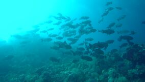 Schools of fish in coral of Red sea Sudan. Sanganeb stock footage