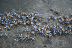 Schools Of Soldier Crab Royalty Free Stock Photo