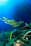 Schools of snapper near underwater wreckage Stock Photo