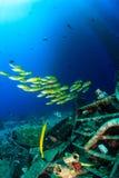 Schools of snapper near underwater wreckage. Tropical fish swim around debris near a disused oil rig stock photo