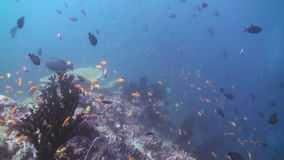 Schooltroep van kleurrijke vissen in overzeese soep op ertsader stock videobeelden