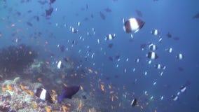 Schooltroep van kleurrijke vissen in overzeese soep op ertsader stock video