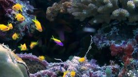 Schooltroep van kleurrijke vissen in overzeese soep op ertsader stock footage