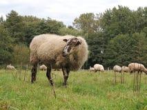 Schoonebeker Sheep. A Schoonebeker sheep Royalty Free Stock Images