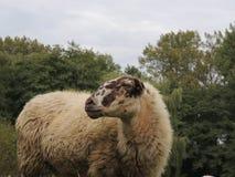 Schoonebeker Sheep. A Schoonebeker sheep Stock Photography