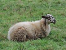 Schoonebeker Sheep. A Schoonebeker sheep Stock Photo