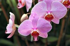 Schoonheid 1 van orchideeën Royalty-vrije Stock Afbeeldingen