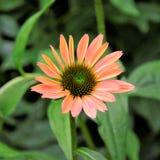 Schoonheid Echinacea van mijn binnenplaats royalty-vrije stock foto