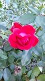 Schoonheid en aardbloemen Stock Afbeelding