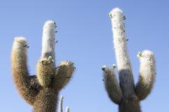 Schoonheid op Cactus Royalty-vrije Stock Afbeelding