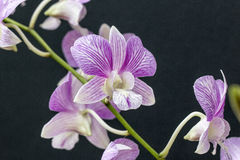 Schoonheid orchidee-gekleurde wijn royalty-vrije stock afbeeldingen