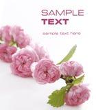 Schoonheid, roze bloemen Stock Afbeeldingen