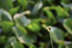 Schoonheid van de Bidens-achtergrond groene Eichhornia van pilosabloemen crassipes stock fotografie