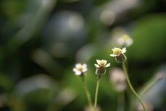Schoonheid van de Bidens-achtergrond groene Eichhornia van pilosabloemen crassipes stock foto