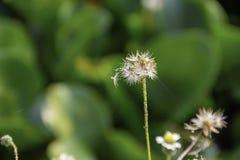 Schoonheid van de Bidens-achtergrond groene Eichhornia van pilosabloemen crassipes stock foto's