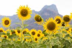 Schoonheid van het gebied van de volledige bloeizonnebloem met berg Royalty-vrije Stock Afbeeldingen