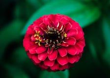 Schoonheid van het Rood Royalty-vrije Stock Foto