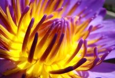 Schoonheid van Lotus Royalty-vrije Stock Foto's