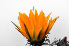 Schoonheid van oranje zonnebloem Royalty-vrije Stock Afbeeldingen