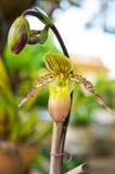 Schoonheid van Paphiopedilum exul. Stock Afbeeldingen