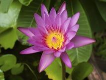 Schoonheid van roze lotusbloem Royalty-vrije Stock Foto
