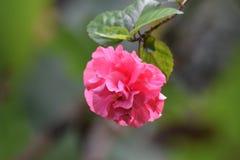 Schoonheid van rozerode bloem Stock Foto