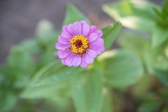 Schoonheids purpere bloem in de tuin Royalty-vrije Stock Afbeeldingen