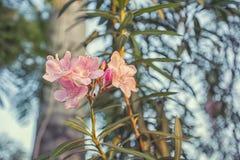 Schoonheids roze bos van de bloesem van paarbloemen Royalty-vrije Stock Afbeelding