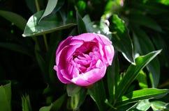Schoonheids roze pioen stock fotografie