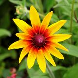 Schoonheids zonnige bloem van mijn binnenplaats royalty-vrije stock foto's