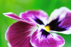 Schoonheidsbloem Royalty-vrije Stock Foto's