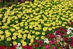 Schoonheidsbloem stock afbeeldingen